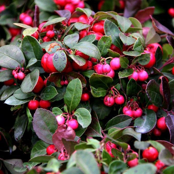 Thé du Canada, gaulthérie couchée, palommier (Gaultheria procumbens)