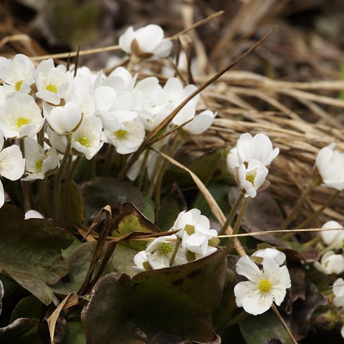 Hepatica nobilis 'Alba'