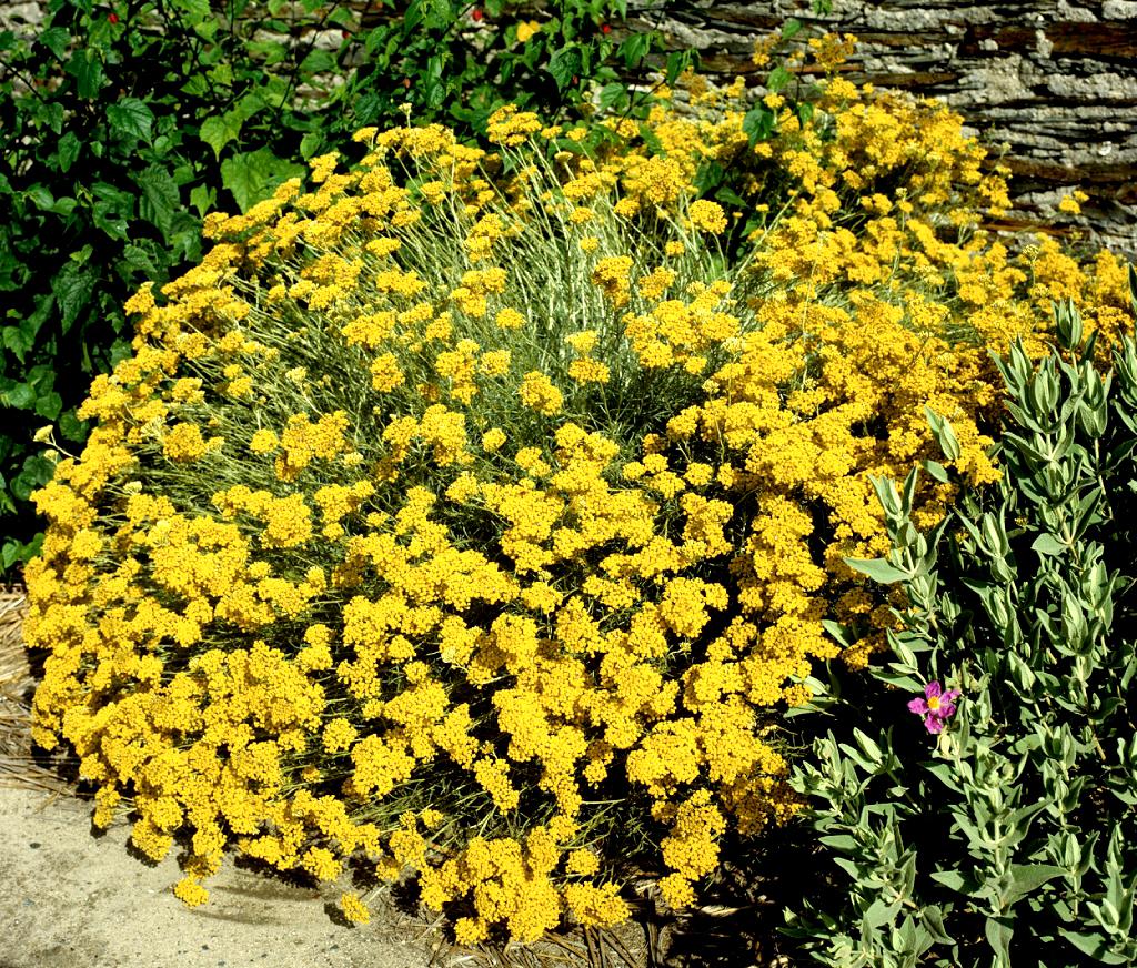 Immortelle vivace planter et cultiver ooreka for Plante de jardin vivace