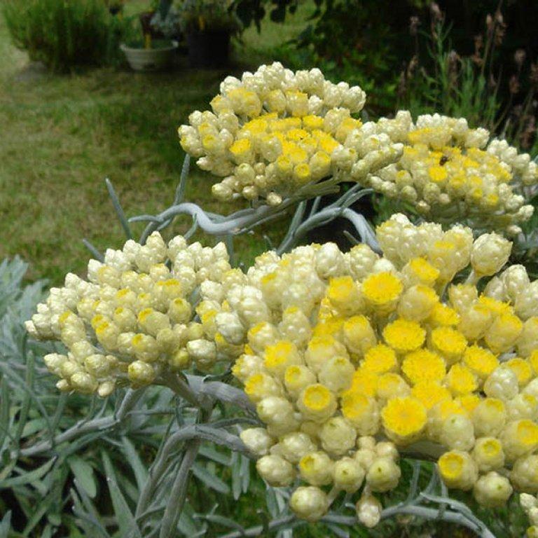 Espèces au port très compact ou étalé Immortelle orientale (Helichrysum orientale)