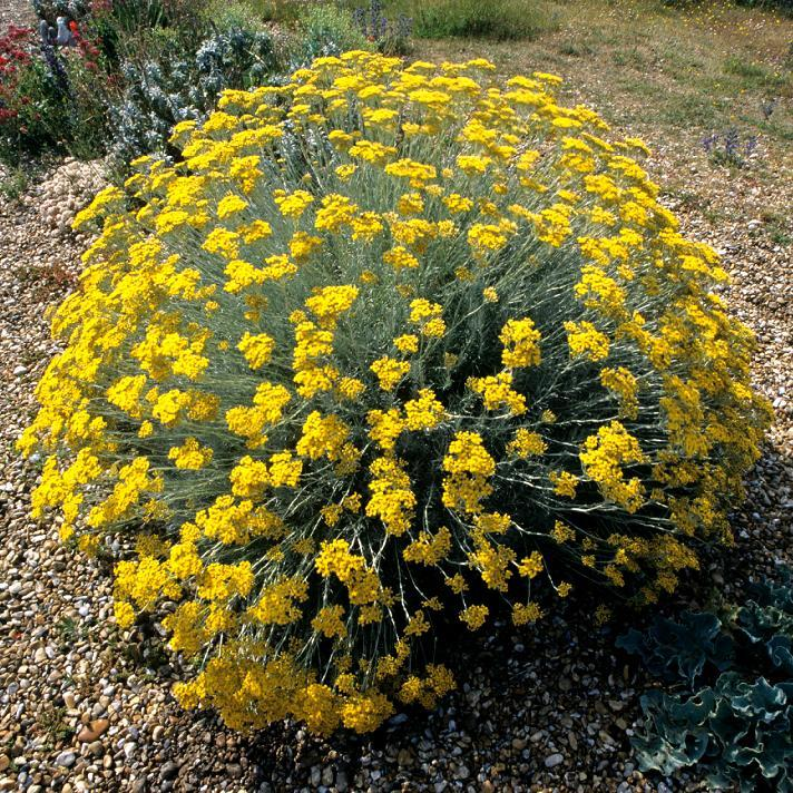 Espèces et variétés au port dressé Immortelle d'Italie, hélichryse d'Italie (Helichrysum italicum)