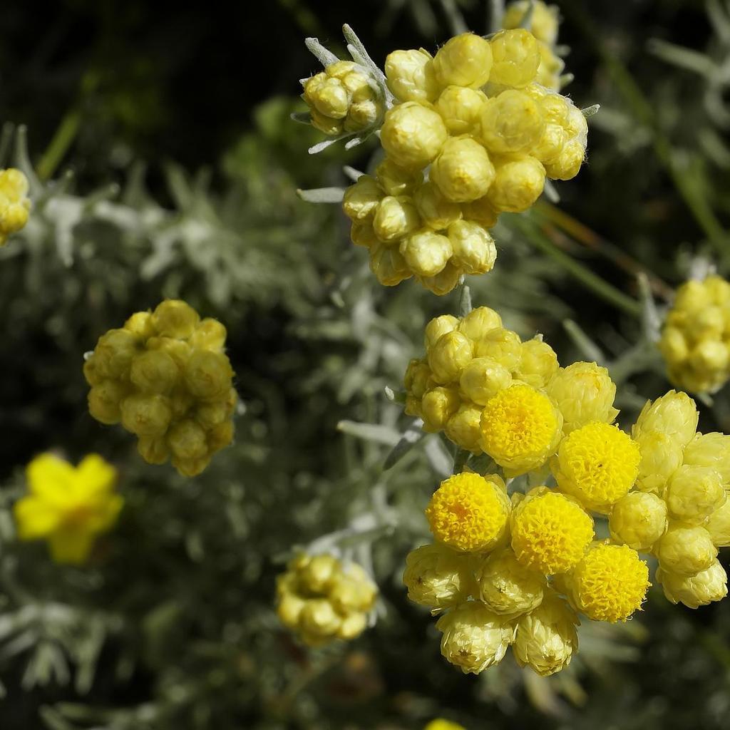 Espèces et variétés au port dressé Immortelle des dunes, immortelle commune, immortelle à toupet (Helichrysum stoechas)
