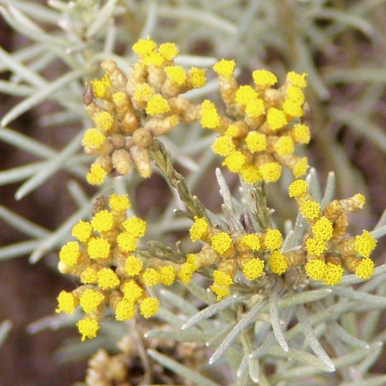 Espèces et variétés au port dressé Immortelle d'Italie 'Weisses Wunder' (Helichrysum italicum 'Weisses Wunder')