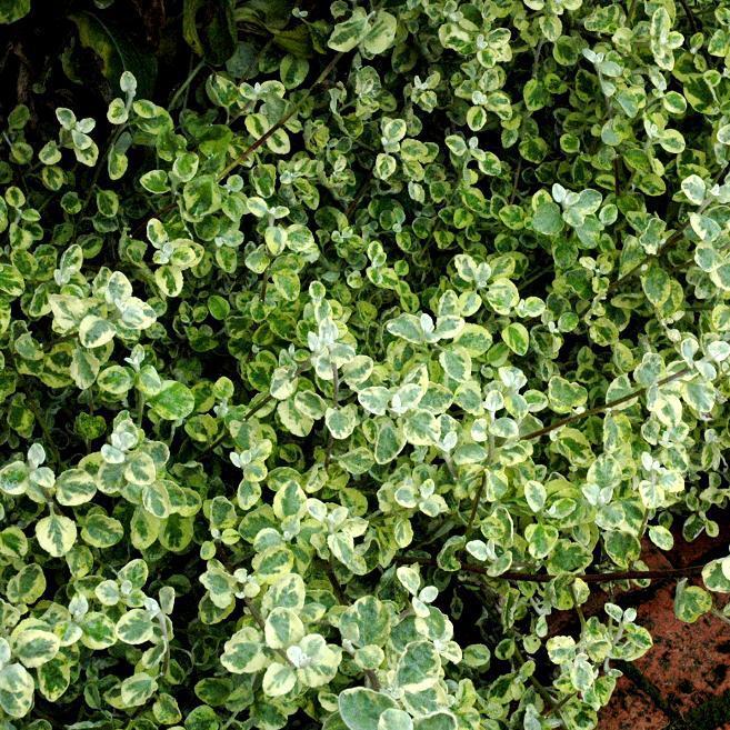 Espèces au port très compact ou étalé Immortelle laineuse, immortelle réglisse (Helichrysum petiolare)