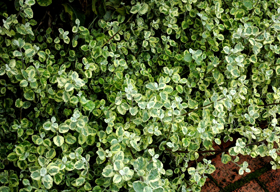 Immortelle vivace planter et cultiver ooreka for Plante persistante