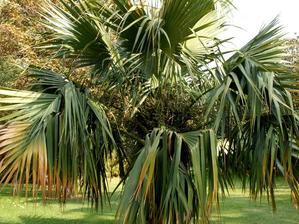 Semis et plantation du sabal