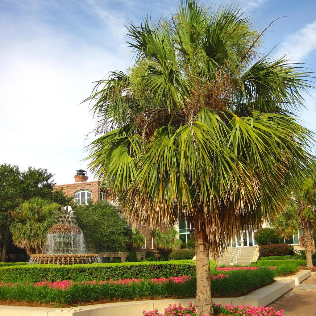 Chou palmiste, palmetto (Sabal palmetto, syn. Sabal parviflora, Sabal bahamensis, Corypha palmetto, Inodes palmetto)