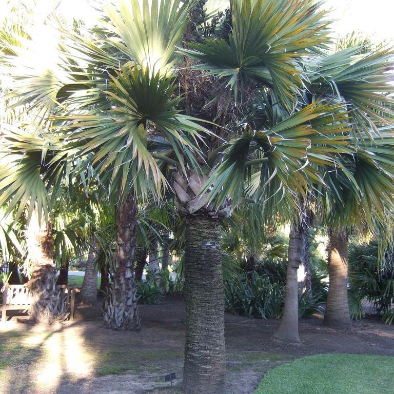 Sabal de Saint-Domingue, latanier chapeau (Sabal domingensis)