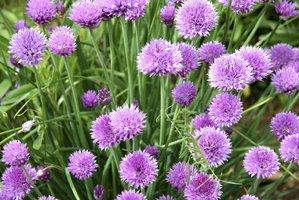 Semis et plantation de la ciboulette