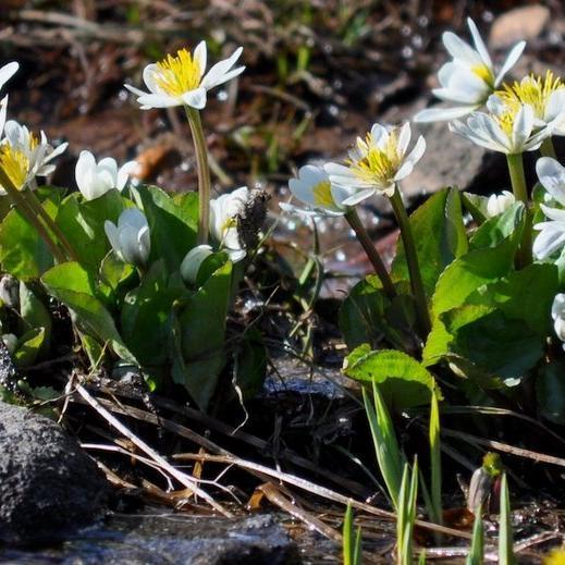 Populage des marais, souci d'eau (Caltha palustris) Populage blanc (Caltha palustris var. alba)