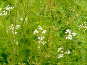 Semis et plantation du carvi (ou cumin des prés)