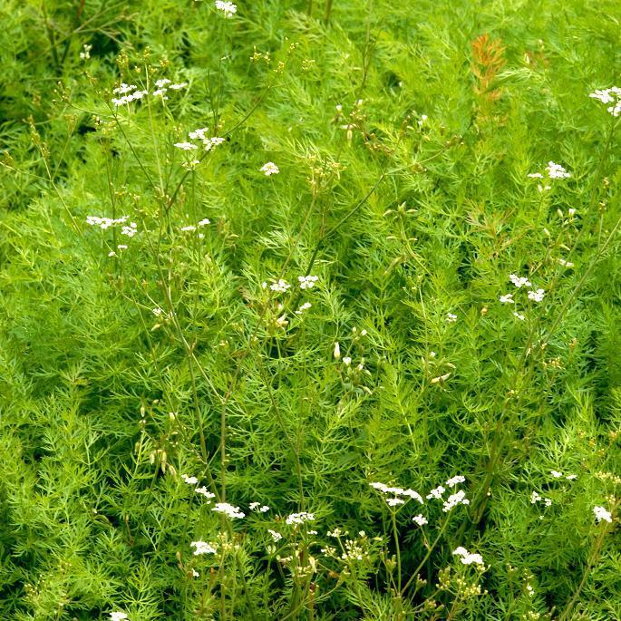Carvi, cumin des près, anis des Vosges (Carum carvi)