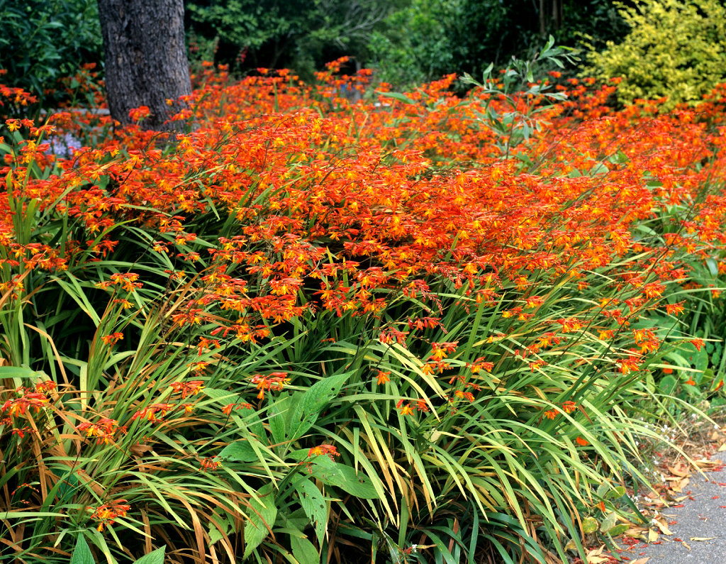 Crocosmia planter et cultiver ooreka for Couvrir les plantes en hiver