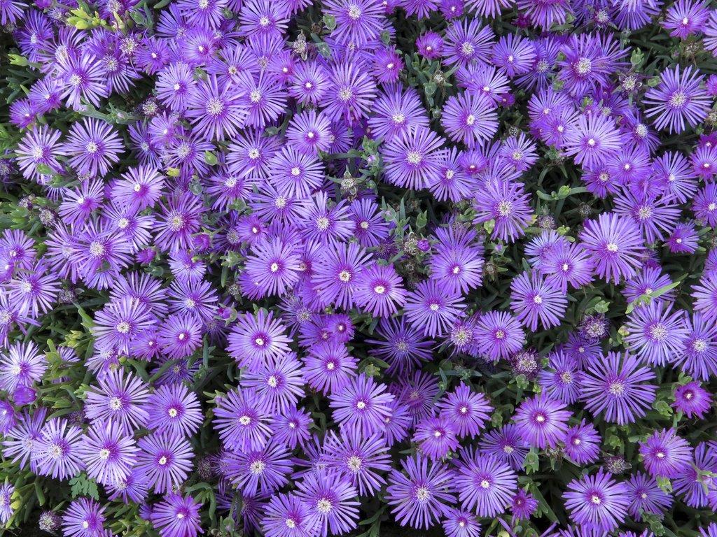 Plantes Pour Talus Sec delosperma : planter et cultiver – ooreka