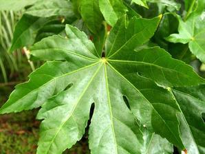 Multiplication du Fatsia japonica
