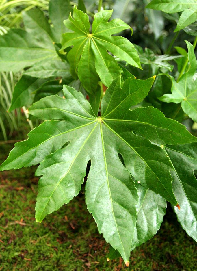 fatsia japonica   planter et cultiver  u2013 ooreka