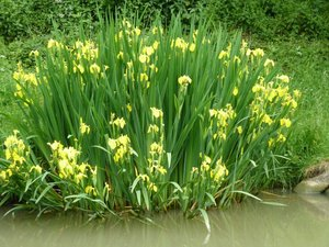 Culture et entretien d'Iris pseudacorus