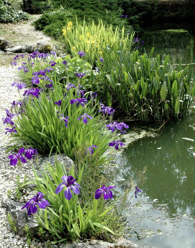 Iris des marais planter et entretenir ooreka for Entretien iris jardin