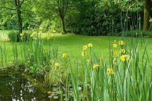 Multiplication de l'iris des marais