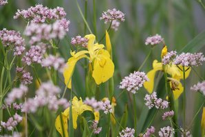 Plantation de l'iris des marais