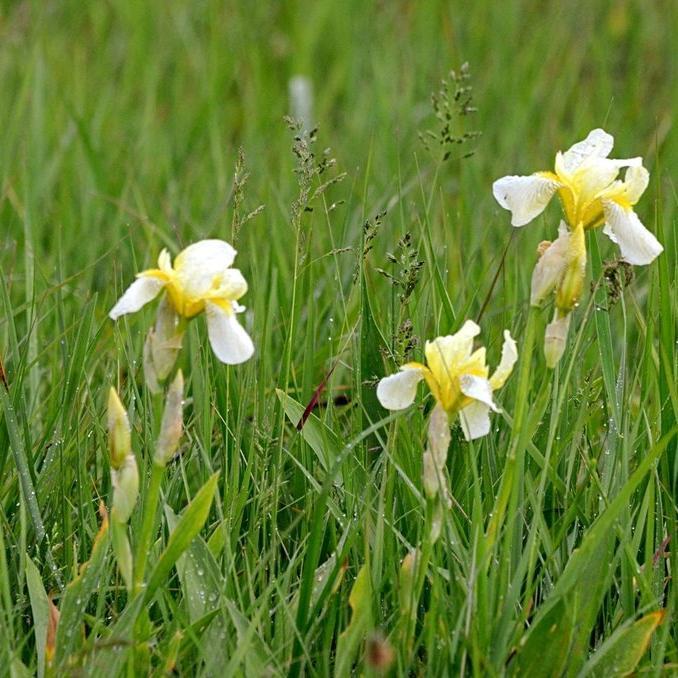 Iris jaune des marais (Iris pseudacorus) 'Alba' (Iris blanc des marais)
