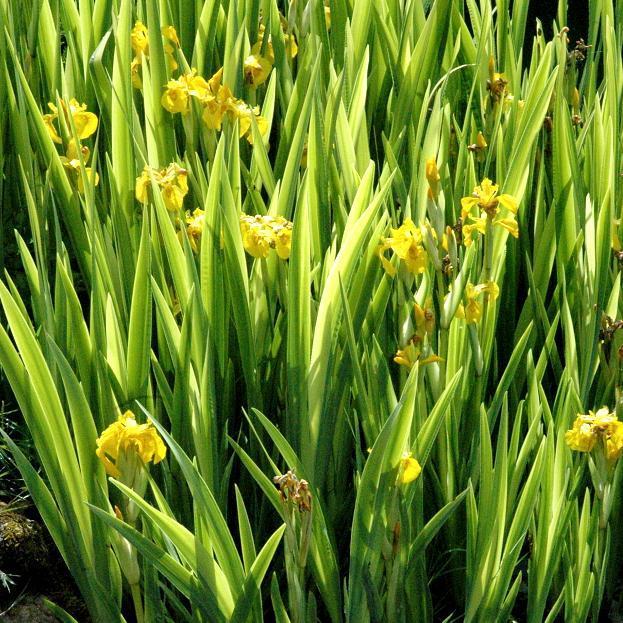 Iris jaune des marais (Iris pseudacorus) 'Variegata' (Iris des marais panaché)