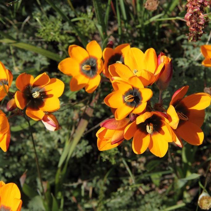 Ixia maculata Espèce type