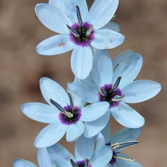 Ixia viridiflora Espèce type