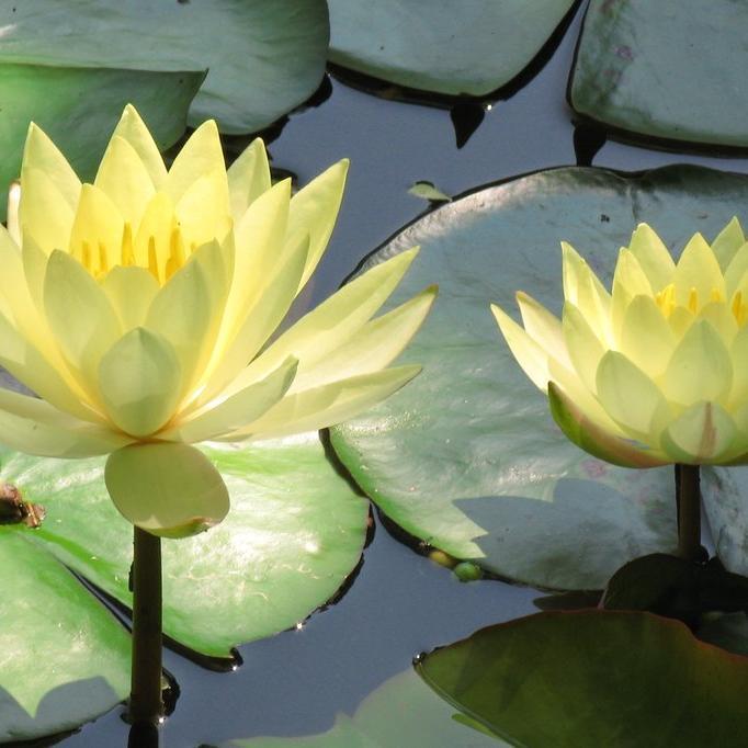 Nénuphars pour bassins moyens (de 0,40 à 0,80m de profondeur) Nénuphar 'Odorata Sulphurea Grandiflora' (Nymphaea 'Odorata Sulphurea Grandiflora')