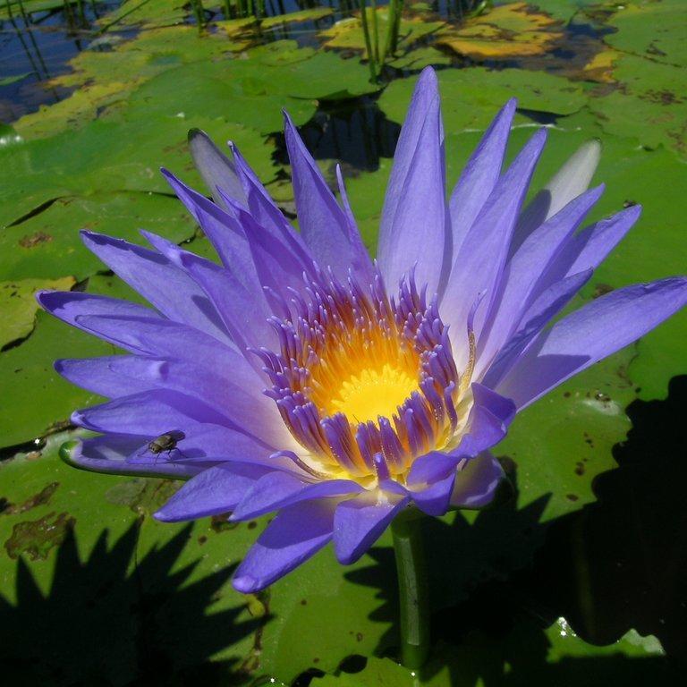 Nénuphars exotiques, exigeant une température minimale de 10°C et devant être rentrés au chaud en hiver Nénuphar bleu, lotus d'Égypte (Nymphaea caerulea)