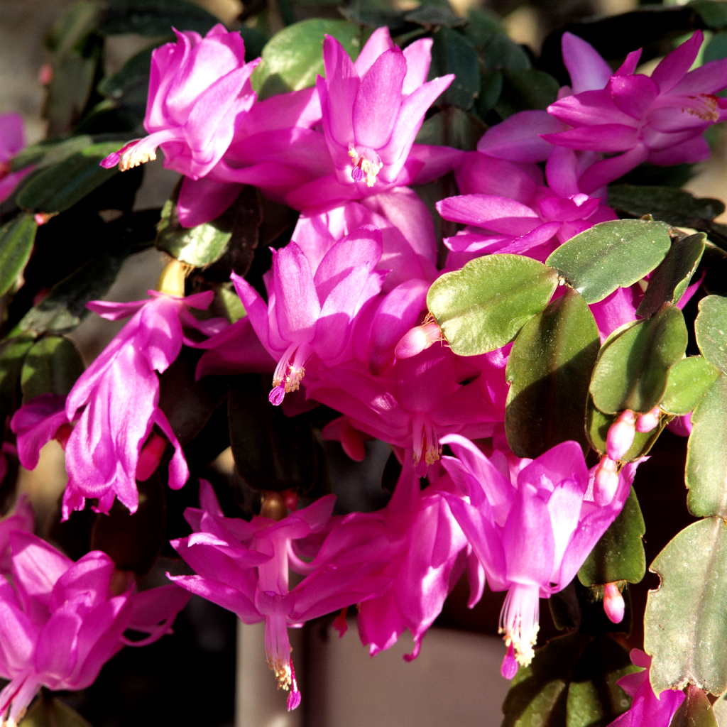 Schlumbergera truncata Espèce type