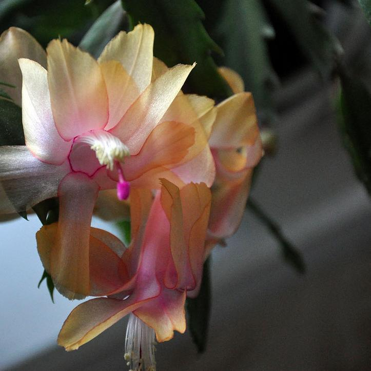 Schlumbergera truncata 'Gold Charm'