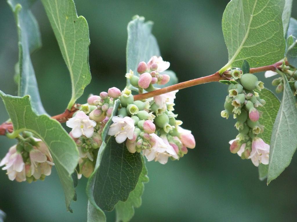 Symphorine   Planter Et Cultiver  U2013 Ooreka