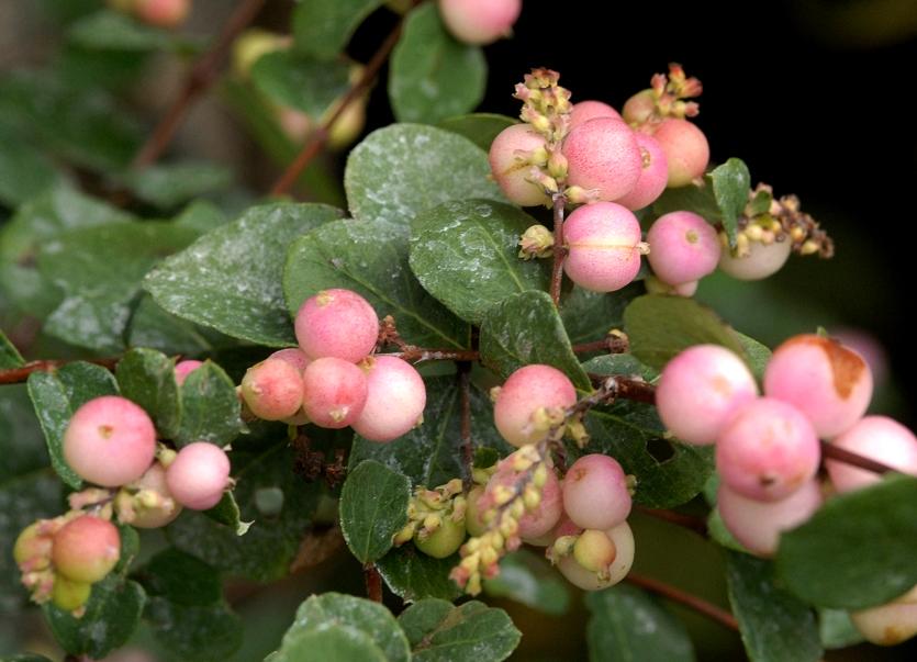 Symphorine planter et cultiver ooreka for Fushia plante interieur ou exterieur