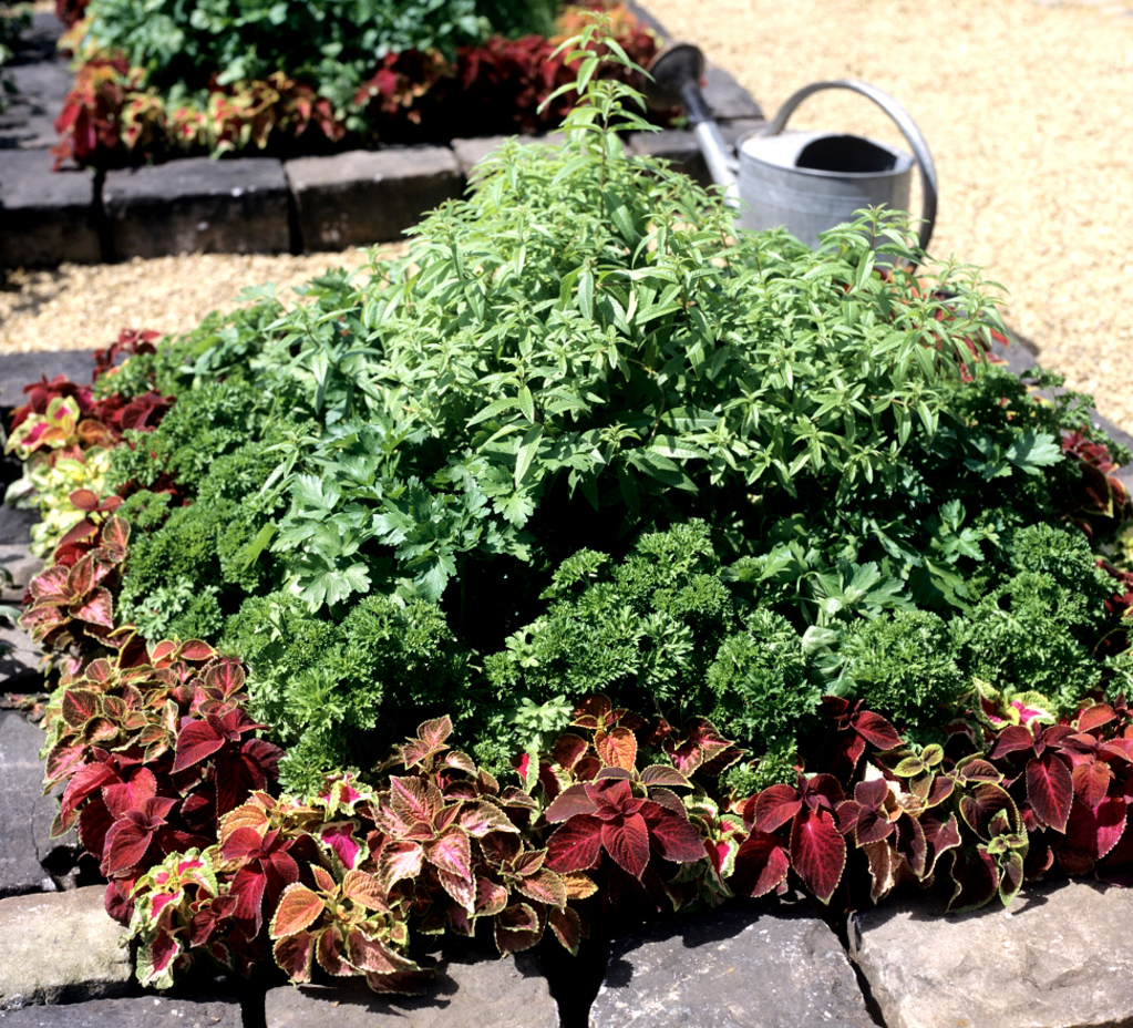 Verveine citronnelle : planter et tailler - Ooreka