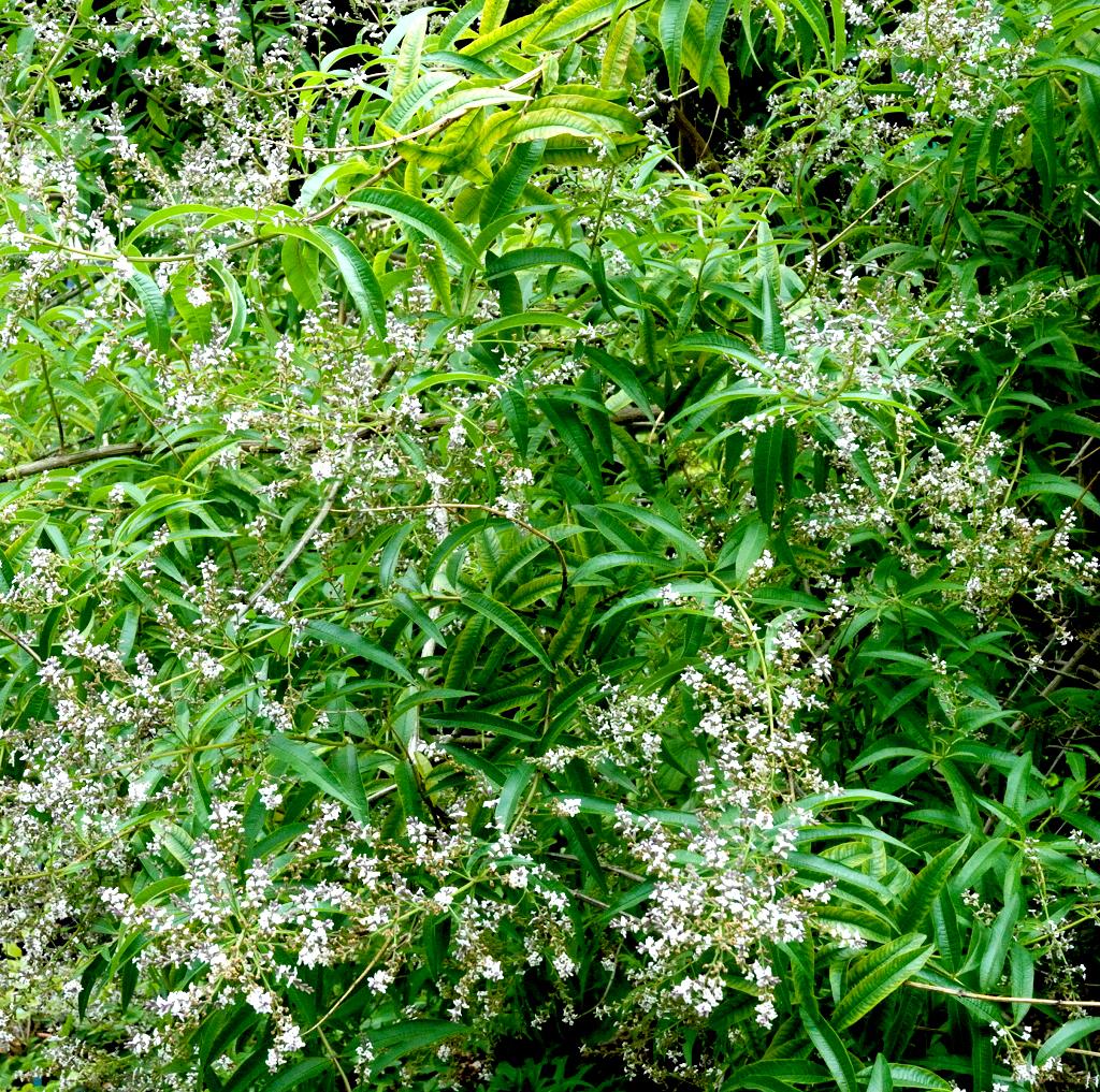 Verveine citronnelle planter et tailler ooreka for Plante en hiver