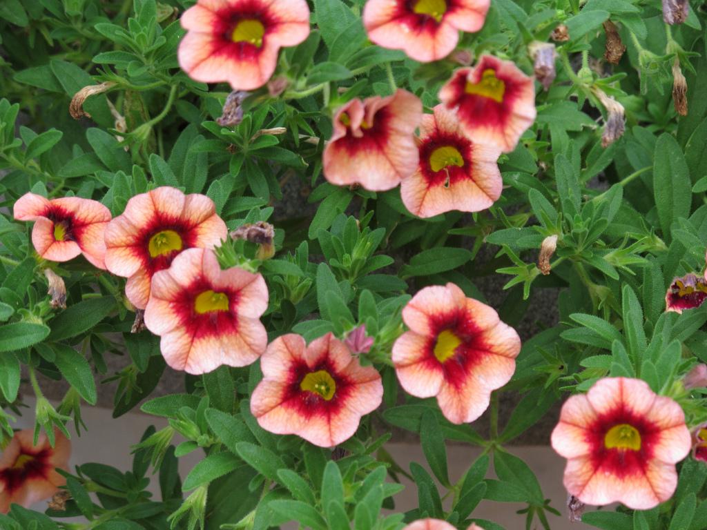 Calibrachoa planter et cultiver ooreka for Tous les plantes
