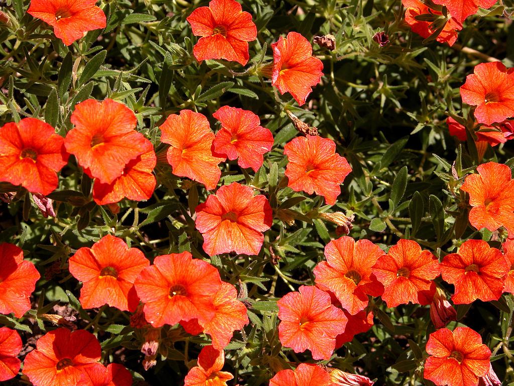 calibrachoa planter et cultiver � ooreka