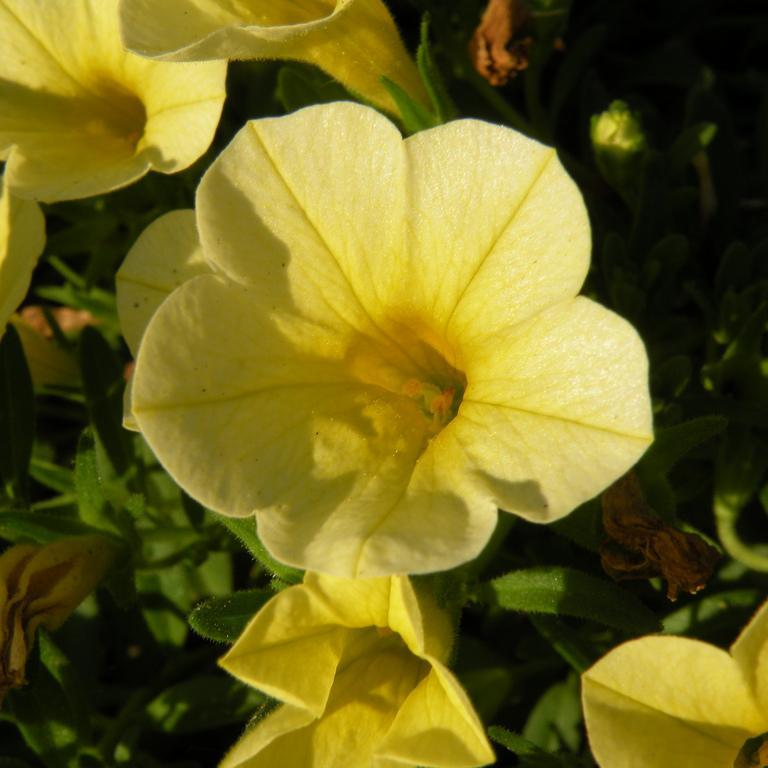Million Bells® 'Bouquet Gold'