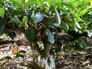 Plantation de <em>Camellia sinensis</em>