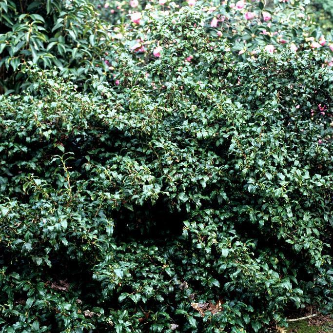 Théier (Camellia sinensis var. sinensis)