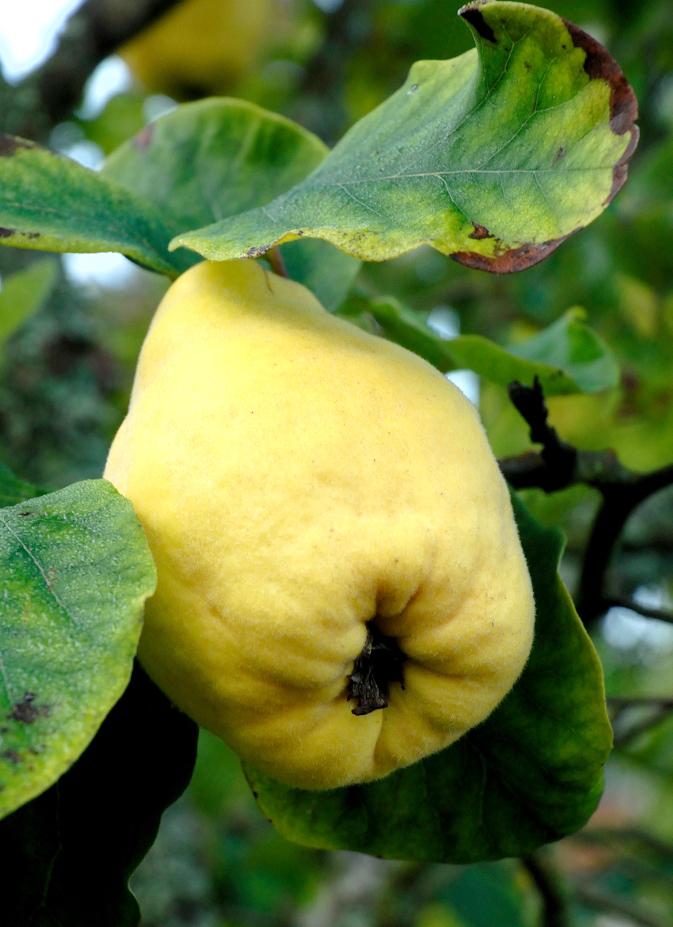 Cognassier planter et tailler ooreka for Tous les plantes