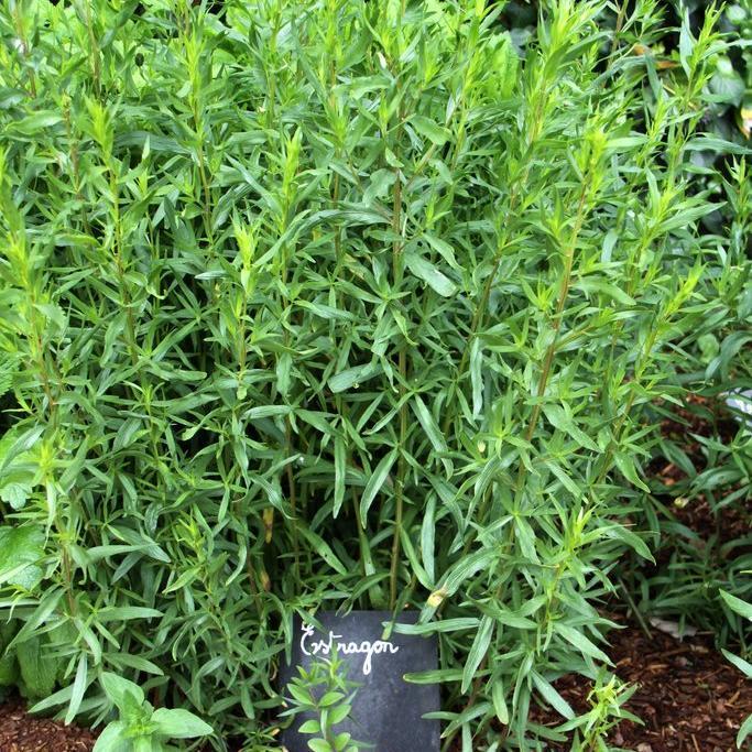 La seule espèce cultivée Estragon dit «français» (Artemisia dracunculus)