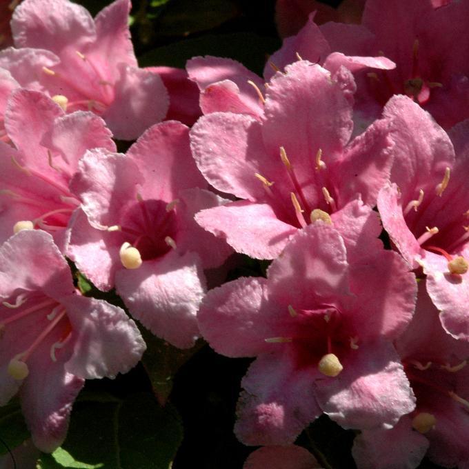 Kolkwitzia amabilis 'Pink Cloud' (variété la plus courante)