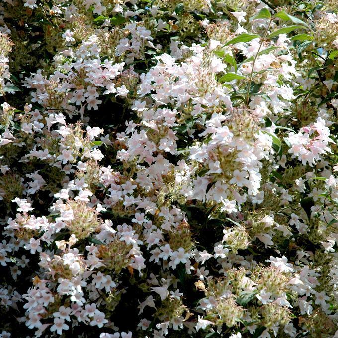 Kolkwitzia amabilis Espèce type