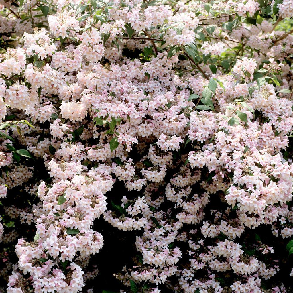Kolkwitzia amabilis 'Rosea'