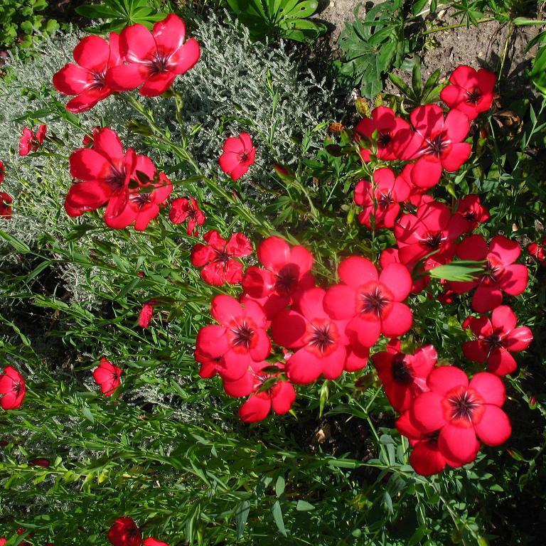 Annuels Lin rouge (Linum grandiflorum)