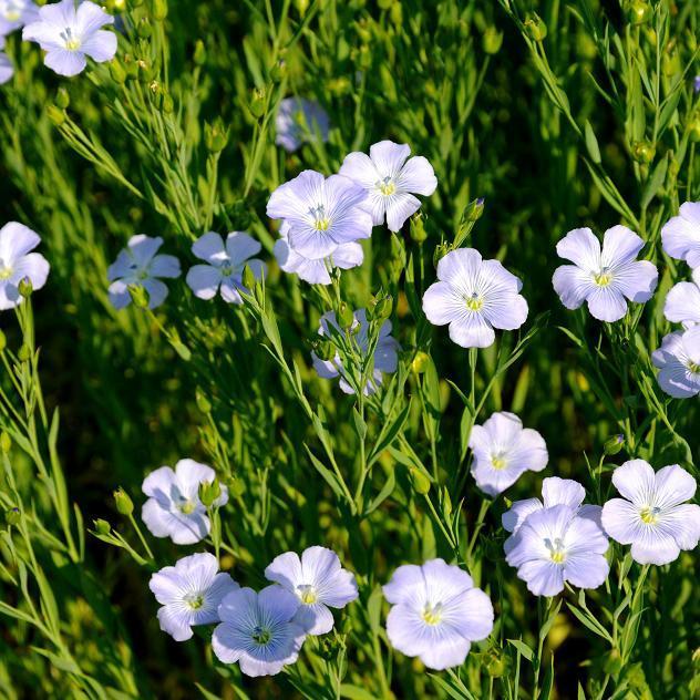Vivaces Lin bleu (Linum perenne)