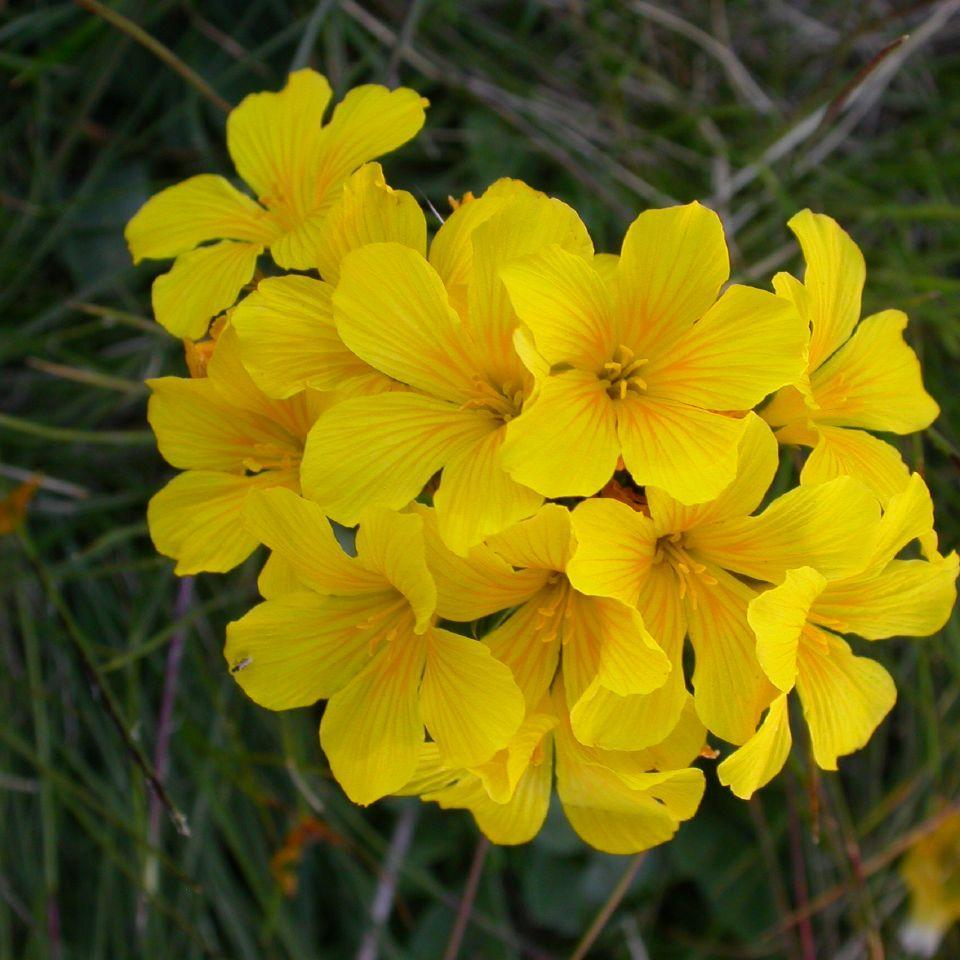 Vivaces Lin jaune (Linum flavum)