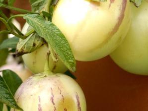 Culture et entretien du pepino